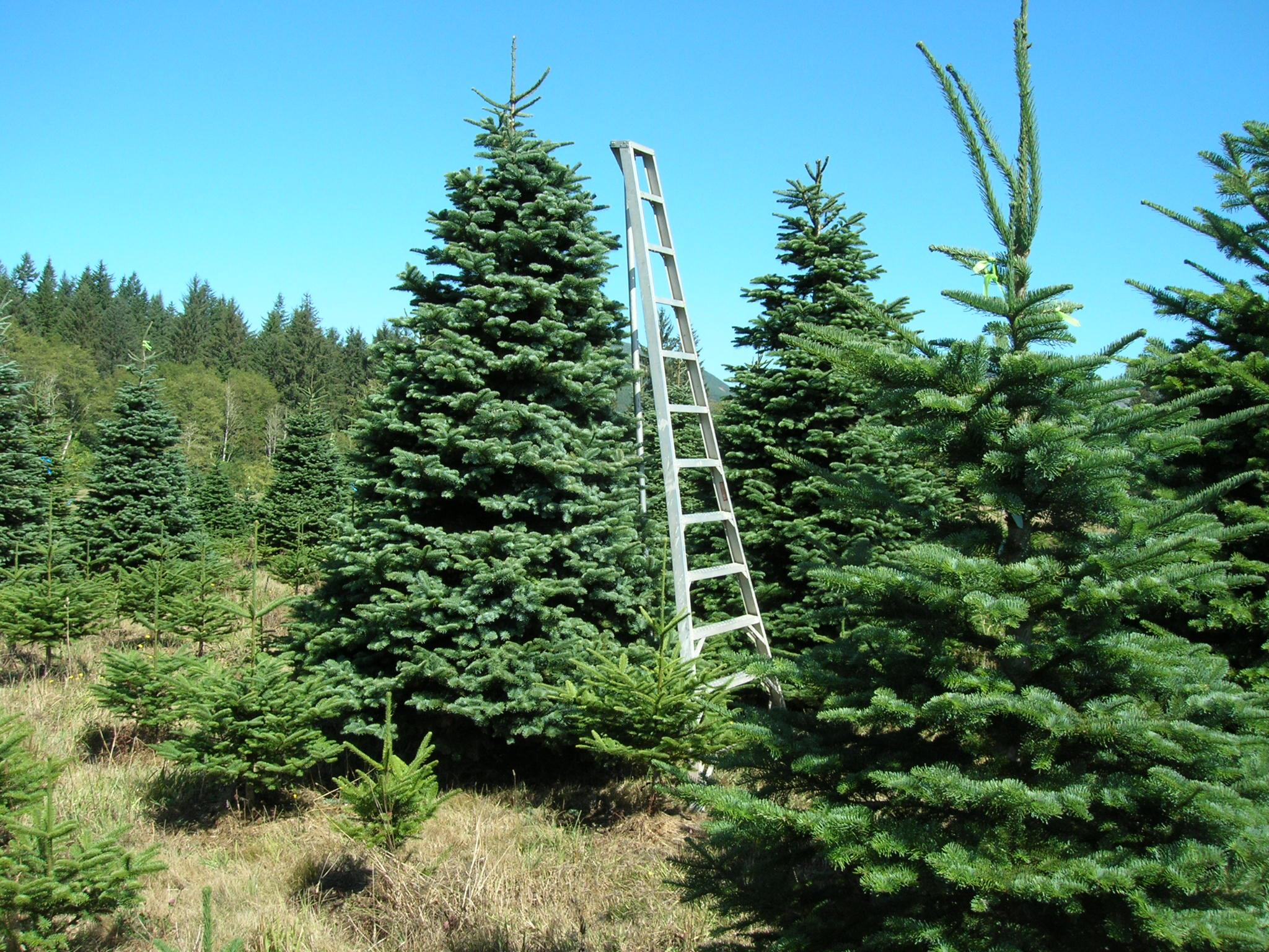 U Cut Christmas Trees and Wreaths - Tim Miller Farms