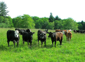 Yearling beef cattle on grass